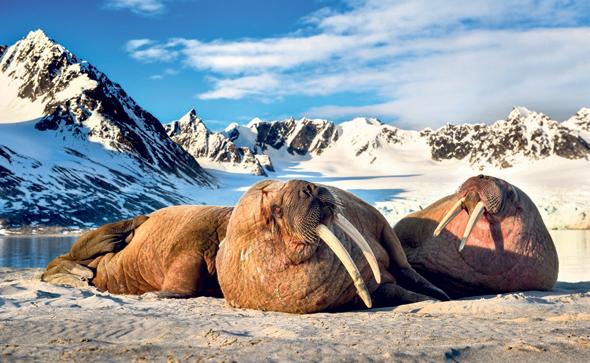 ניבתנים בסכנת הכחדה ליד האוקיינוס הארקטי