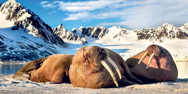 ניבתנים באי שפיצברגן שבסכנת הכחדה. האוקיינוס הארקטי , צילום: רועי גליץ