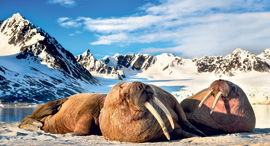 ניבתנים באוקיינוס הארקטי, צילום: רועי גליץ