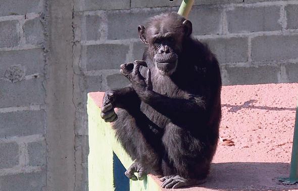 השימפנזה ססיליה