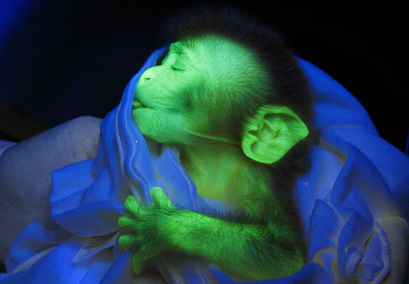 A glow-in-the-dark monkey. Photo: Anthony Chan