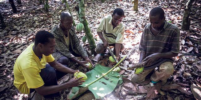 חוף השנהב וגאנה יקימו קרטל קקאו שיזניק את מחיר המתוקים