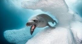פוטו תחרות צילום מתחת למים כלב ים , צילום: Greg Lecoeur / Ocean Art