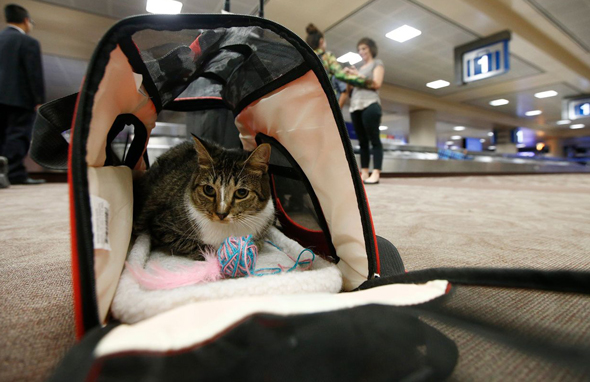 חתול בטיסה, צילום: איי פי