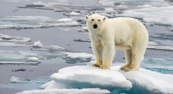 דוב בקוטב