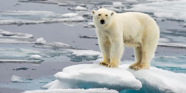 הירידה המתמשכת בכמות הקרח באזור הארקטי פוגעת בבריאות דובי קוטב