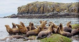 כלבי ים באלסקה, צילוםף שאטרסטוק