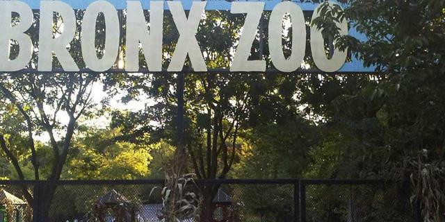 לראשונה: פנתרה בגן החיות של ניו יורק נדבקה בקורונה