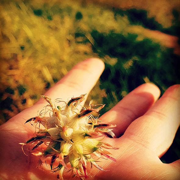 פרח קורונה
