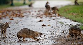 פוטו קרב תנים  פארק הירקון קורונה, צילום: Oded Balilty / AP