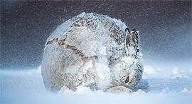 פוטו תחרות צילומי הטבע של bigpicturecompetition מקום ראשון שפן בשלג, צילום: Andy Parkinson / BigPicture Natural World Photography Competition