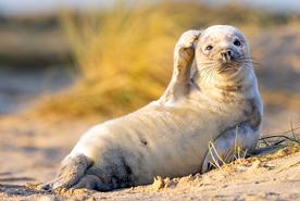 כלב ים, צילום: Johan Siggesson