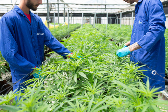 Better Israel cannabis farm. Photo: Hila Kedi