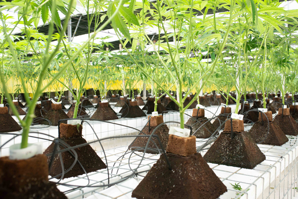 חוות גידול קנאביס של חברת בטר