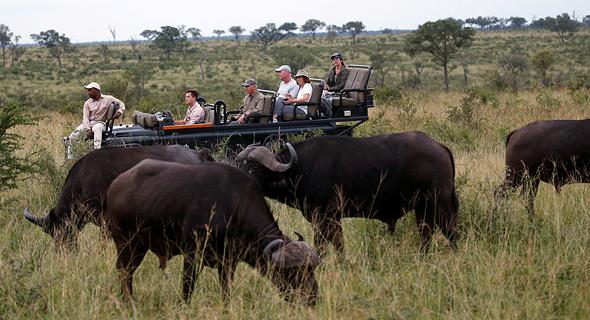 עדר באפלו בקרוגר פארק, דרום אפריקה