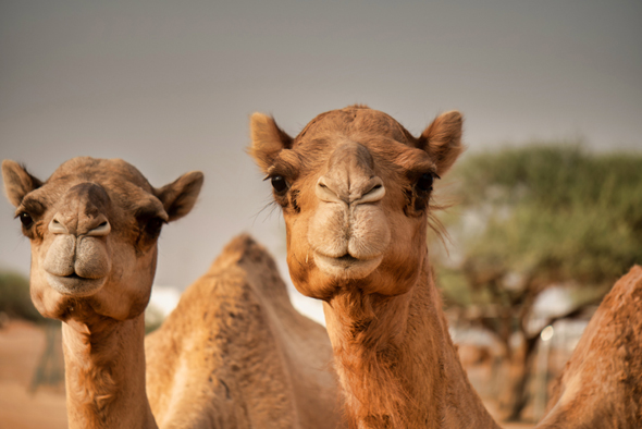 Camels are the next unicorns. Photo: Shutterstock
