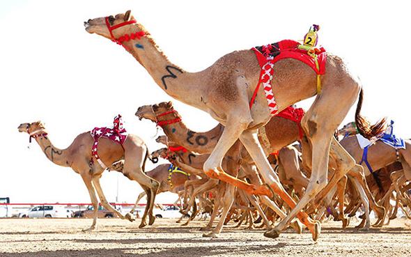 מרוץ גמלים בדובאי, צילום: dubai confidential
