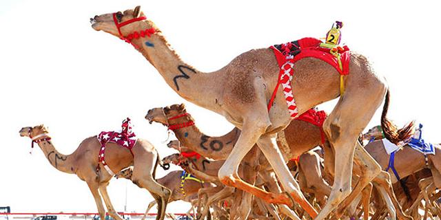 חוזרים לשגרה - איחוד האמירויות מחדש את מרוצי הגמלים