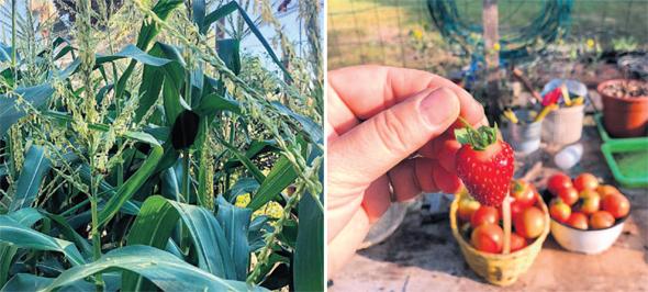 תות עגבניות ותירס שגדלים בגינתה של בילי הראל