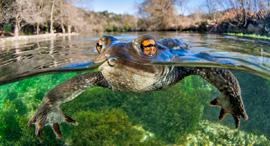 פוטו תחרות צילומי תקריב close-up photographer of the year  צפרדע , צילום: Mathieu Foulquie