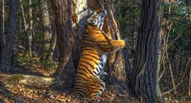 פוטו תחרות צילומי חיות בר Natural History Museum טיגריס, צילום: Sergey Gorshkov / Wildlife Photographer of the Year