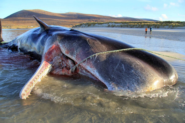 The deceased beached sperm whale washed up on Scottish shores. Photo: Scottish Marine Animal Strandings Scheme