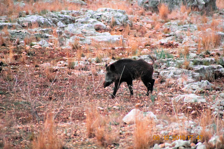 חזיר בר בנחל רבה, צילום: דניאל לייזרוביץ