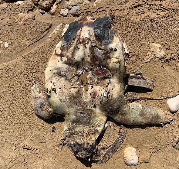 צב ים שמת מהזיהום