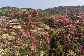 פריחה בסין, צילום: גטי אימג'ס