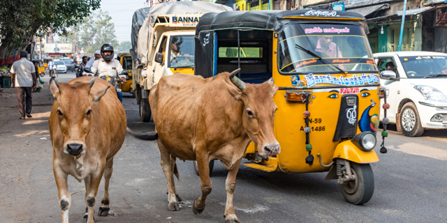 לא רק פרות: יותר ויותר חדי קרן בהודו