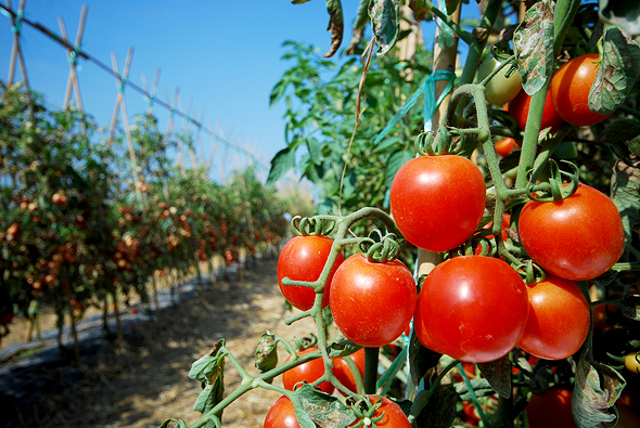 Arugga's robots provide a contactless solution for treating tomato plants (illustrative). Photo: Shutterstock