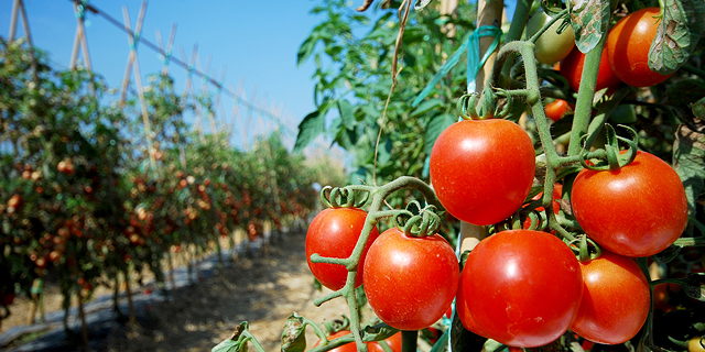 Costa Group to start deploying Arugga's pollination robots across Australian tomato fields