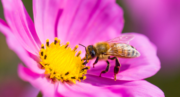 Bees play a major part in pollintaing our food sources and are at risk of extinction. Photo: Shutterstock