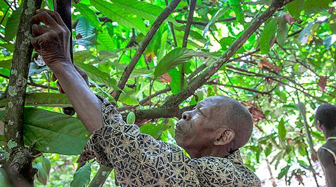 גידול קקאו בחוף השנהב, צילום: בלומברג
