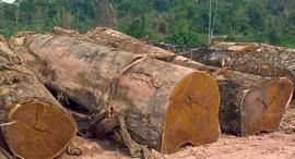 עצים כרותים ביער גשם בברזיל, צילום: בלומברג