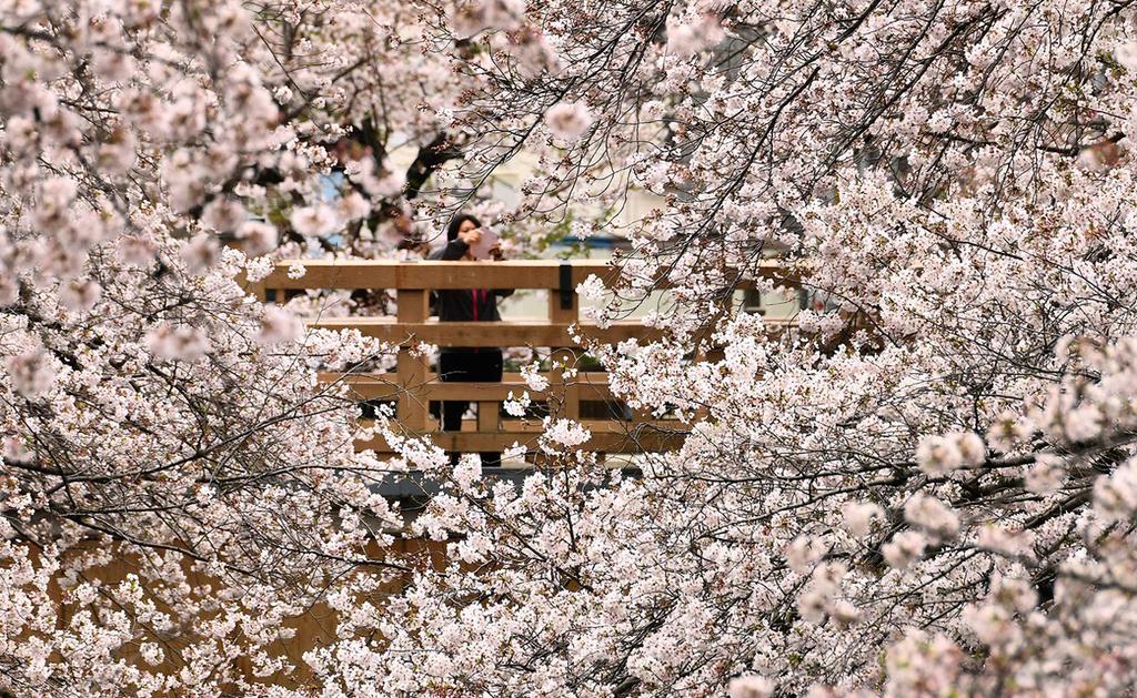 פוטו קורונה אביב פריחה דובדבנים טוקיו יפן