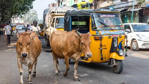 פרות וריקשות בכביש בהודו. ריבוי המהמורות פוגע בגחון של טסלה 3, צילום: שאטרסטוק