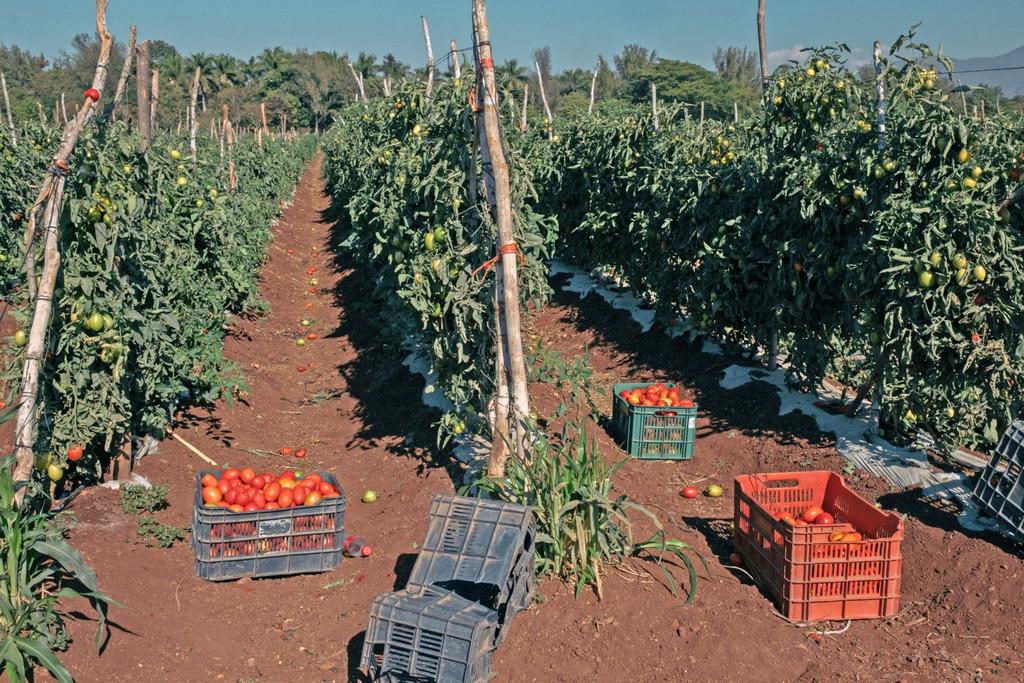 מטע עגבניות