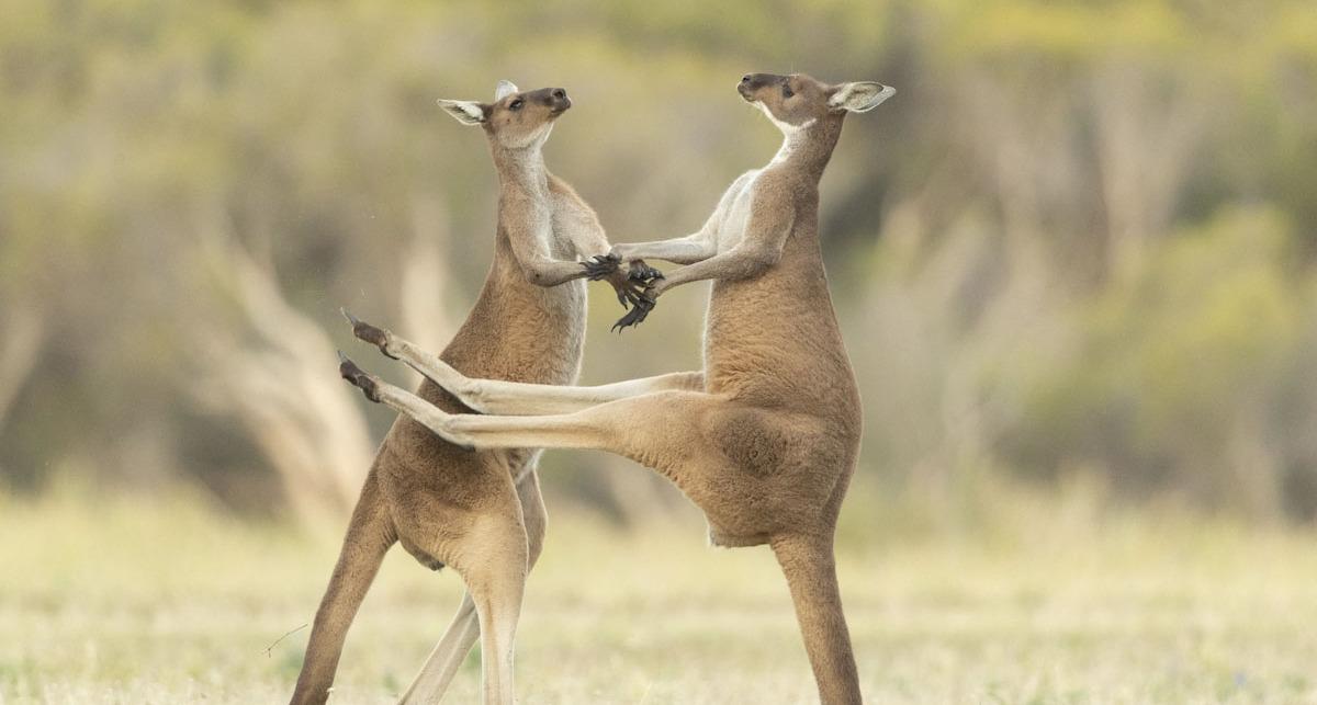פוטו צילומים מצחיקים של חיות 2021  קנגורו