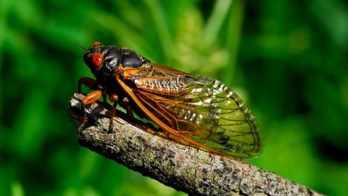 פנאי ציקדה חרק, צילום: שאטרסטוק