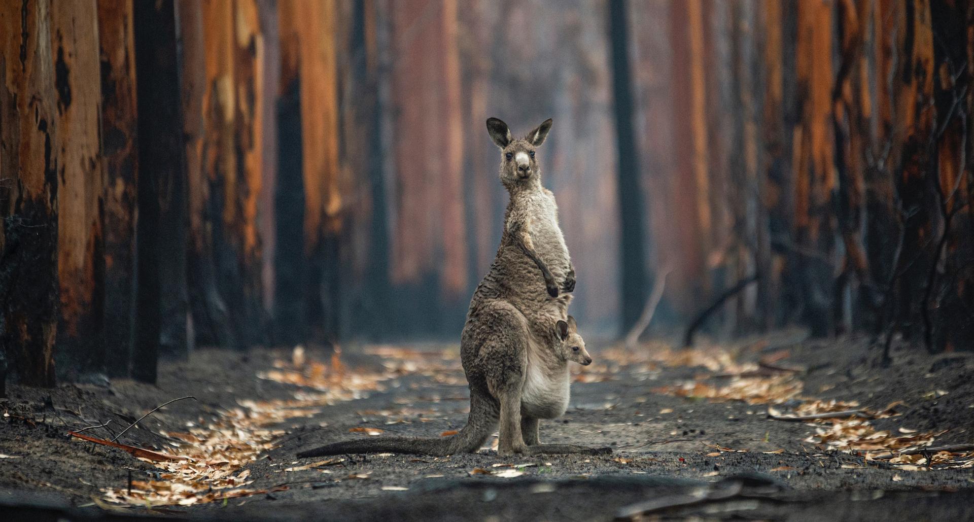 פוטו תמונות מתחרות BigPicture Natural World קנגורו אוסטרליה