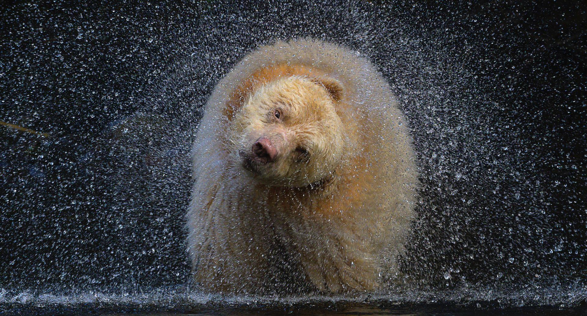 פוטו תמונות מתחרות BigPicture Natural World  דוב