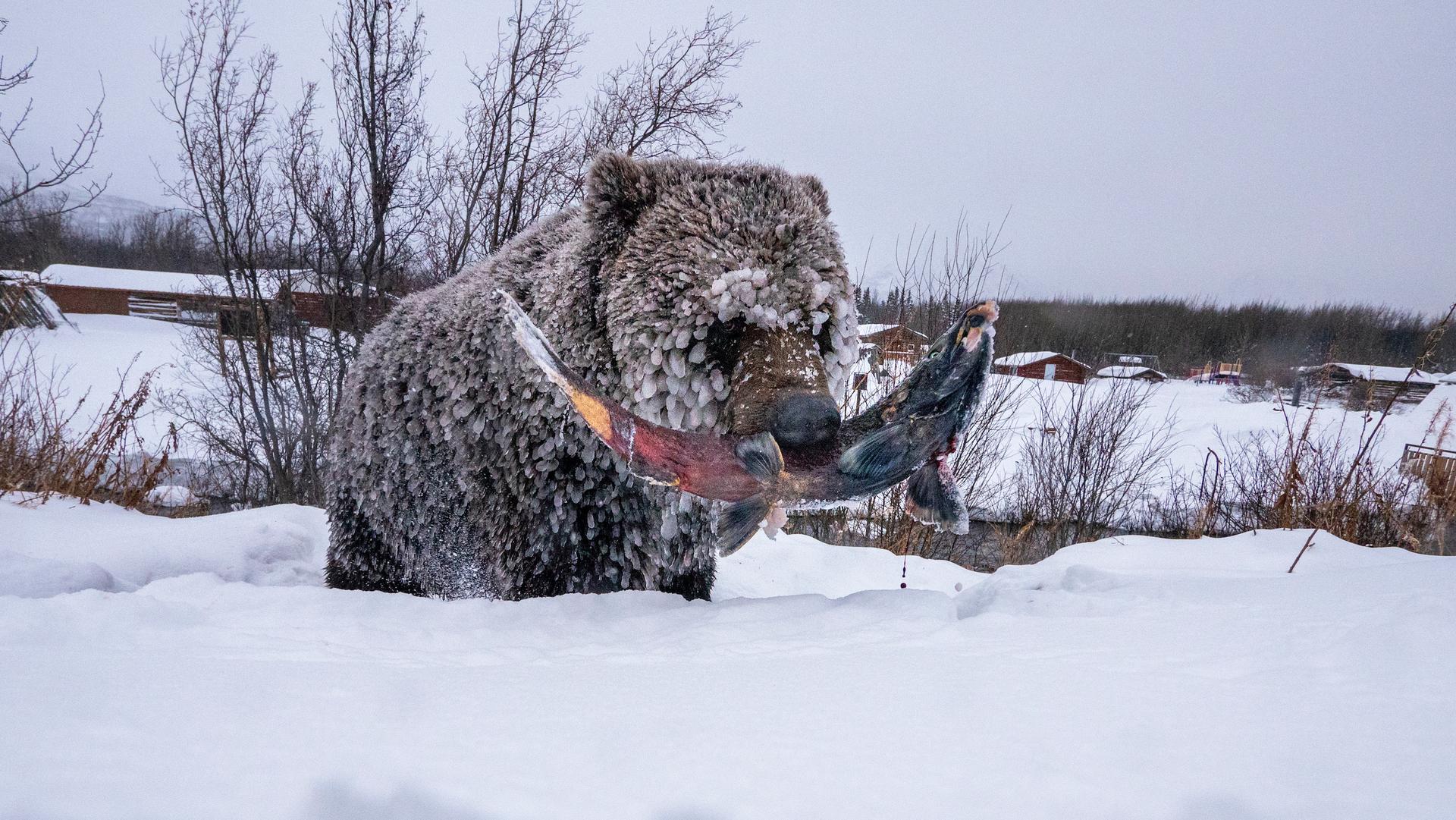 פוטו תמונות מתחרות BigPicture Natural World דוב אוכל דג