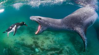 פוטו תמונות מתחרות BigPicture Natural World כלב ים פינגווין, צילום: Amos Nachoum - BigPicture Natural World Photography Competition