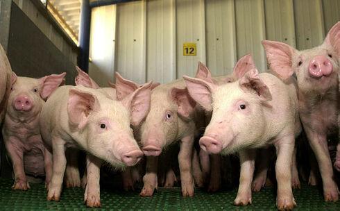 חוות גידול חזירים, מאיר אזולאי