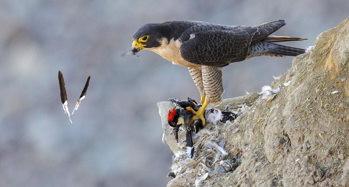 פוטו תחרות צילומי ציפורים Audubon     Peregrine Falcon