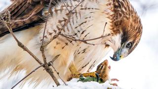 פוטו תחרות צילומי ציפורים Audubon      Red-tailed Hawk, צילום: Steve Jessmore