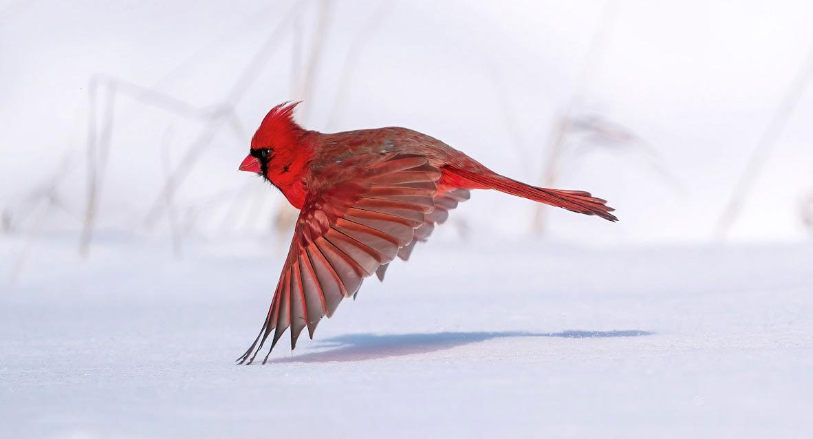 פוטו תחרות צילומי ציפורים Audubon  Northern Cardinal