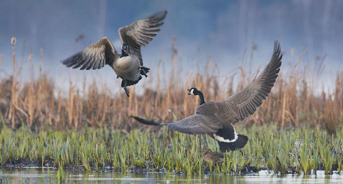 פוטו תחרות צילומי ציפורים Audubon       Canada Goose