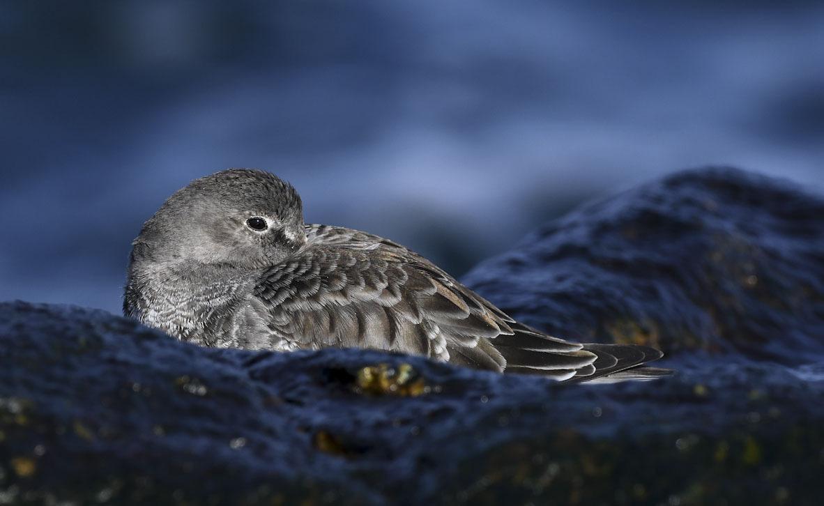פוטו תחרות צילומי ציפורים Audubon   Purple Sandpiper